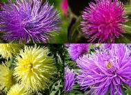 Aster Tall Needle 100 Seeds, Mixed Colours, Huge, spiky blooms